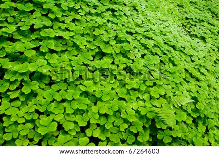 A clover of field, Oxalis sp., Oxalidaceae. - stock photo