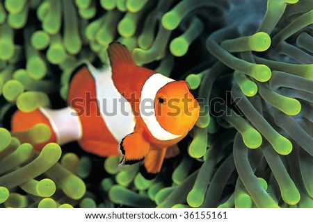 A clown anemonefish in colorful anemone - stock photo