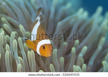 A Clown Anemonefish sheltering among the tentacles of its sea anemone - stock photo