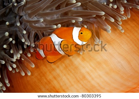 A clown anemonefish swimming in its sea anemone. The anemone is partly closed showing the bright orange skin on the underside - stock photo