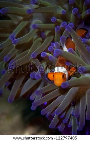 A clown fish portrait in Borneo, Indonesia - stock photo