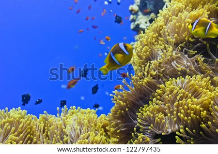 A clown fish portrait in the blue background