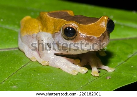 A Clown Frog (Dendropsophus leucophyllatus) in the Peruvian Amazon - stock photo