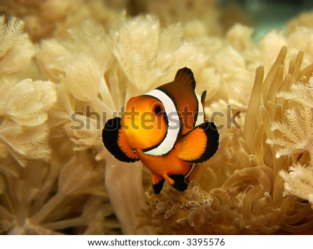 A clownfish (Amphiprion Ocellaris) next to his anemone. - stock photo