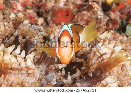 A Clownfish in a small host anemone - stock photo