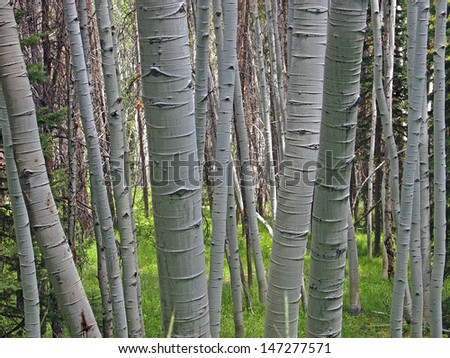 A clump of white barked aspen trees in a forest. - stock photo