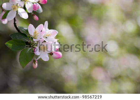 A cluster of cherry blossom in front of soft bright background - stock photo