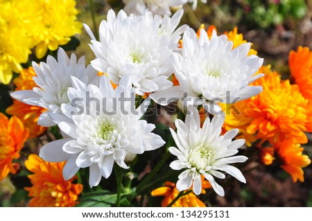 A cluster of Chrysanthemum