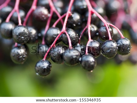 A Cluster of Elderberries on the Tree, with Raindrops - stock photo