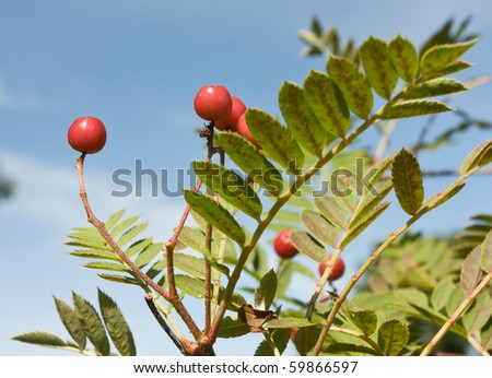 A cluster of Ripening Rowan berries in late summer early autumn. - stock photo