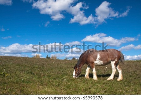 A Clydesdale horse (equus ferus caballus) grazing in an open field. - stock photo
