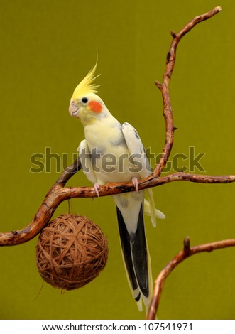 A cockatiel  on a branch - stock photo