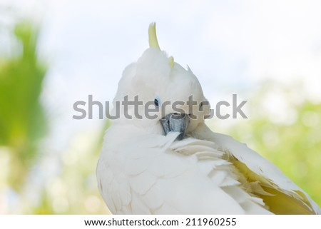A cockatoo preening its white feathers on a green background - stock photo
