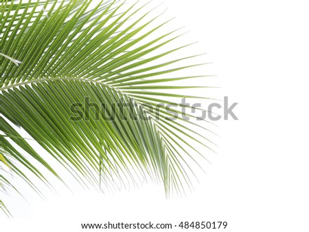 A coconut leaf on white background.