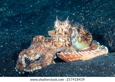 A Coconut (Veined) Octopus arranging shells for a shelter on a black volcanic sand seabed