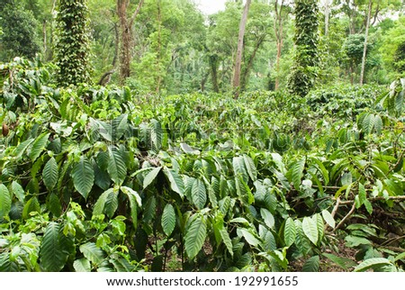 A coffee plantation in Coorg, India