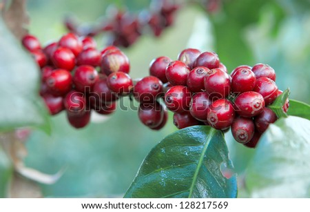 A coffee tree in the garden - stock photo