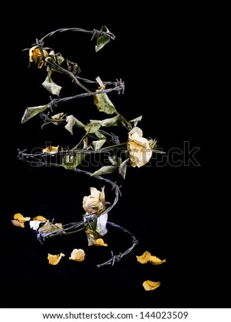 A coil of barbed wire with dead yellow roses entwined with space for text - stock photo