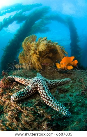 A cold water reef in California is host to a starfish, bright orange garibaldi, swaying kelp and brown sea fans. - stock photo