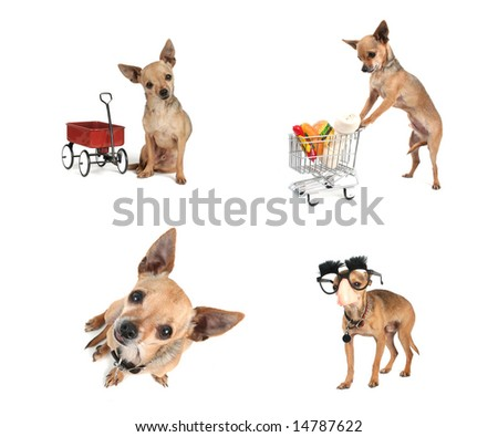 a collage of chihuahuas doing various things on a white background - stock photo