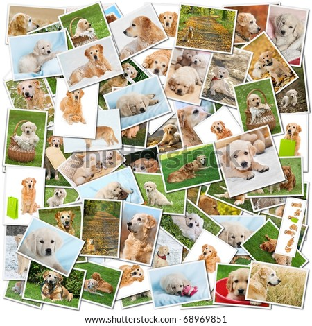 A collage of photos of golden retriever, a collection of photos isolated on a white background, which can be found in high resolution in my portfolio. - stock photo