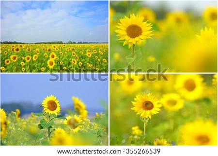 A collage of Sunflowers, Helianthus annuus, selective focus and diffused background, grown as a crop for its edible oil and edible fruits, this sunflower is also used as bird food, Gloucestershire UK - stock photo