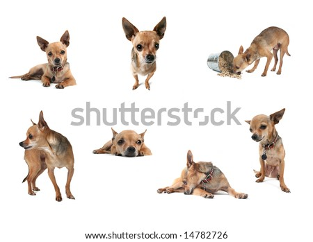 a collage of tiny chihuahuas in a group on white - stock photo