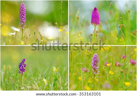 A collage of wild meadow orchids, Common Spotted, Dactylorhiza fuchsil, Pyramidal, Anacamptis pyramidalis, Green-winged, Anacamptis morio, Purple type and Southern Marsh, Dactylorhiza praetermissa, UK - stock photo