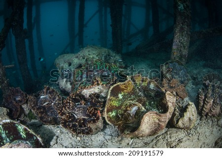 A collection of giant clams (Tridacna derasa) grow near a pier in the western Pacific. Giant clams have a symbiosis with photosynthetic algae which reside in the mantle of these bivalves. - stock photo
