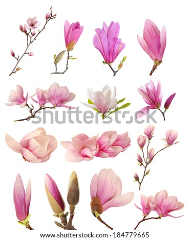 a collection of pink magnolia flowers isolated on white background  - stock photo