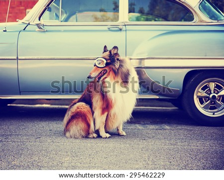 a collie posing for the camera in front of a classic car during a hot summer day with goggles on of a classic car toned with a retro vintage instagram filter action effect app - stock photo