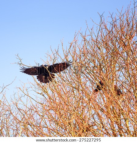 A colony of crows nesting in treetops of old oak and beech trees.  - stock photo