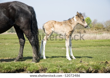 A color landscape photo of a beautiful newborn foal standing next to it`s mother in a grassy field.