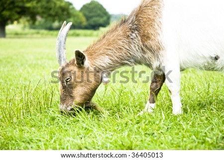 A color landscape photo of a goat eating grass in green meadow.