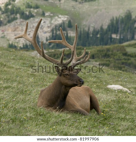 A Colorado Bull Elk Resting in the Grass