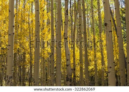 A colorful Aspen grove in Autumn color in the Kenosha Pass. - stock photo