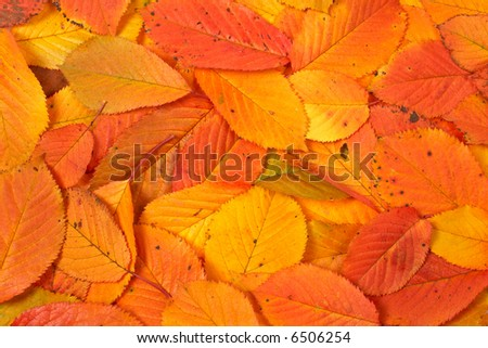 A colorful autumn background made from leaves - stock photo