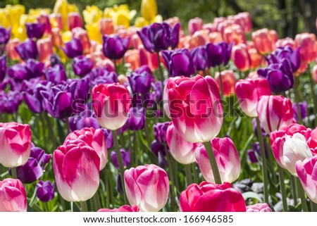 A colorful bed of blooming tulips in the Brooklyn Botanic Gardens in New York City - stock photo