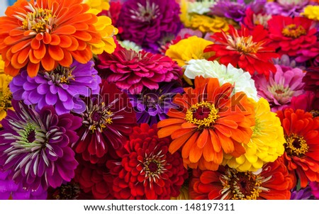 A colorful bouquet of summer zinnias. - stock photo