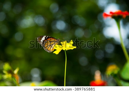 A colorful butterfly on yellow cosmos flower with white and green bokeh background. - stock photo