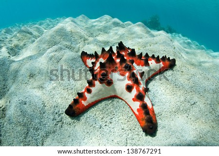 A colorful Chocolate Chip seastar (Protoreaster nodosus) lives on a shallow sand flat in the warm waters of the Indo-Pacific region. - stock photo