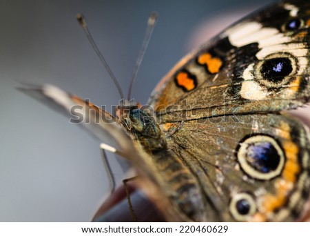 A colorful Common Buckeye Junonia Coenia butterfly. - stock photo