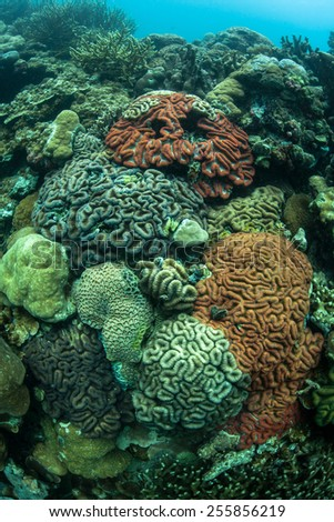 A colorful coral reef grows in Palau's beautiful lagoon. The diverse marine life found within the lagoon is enclosed by hundreds of limestone islands that are ancient, uplifted reefs. - stock photo
