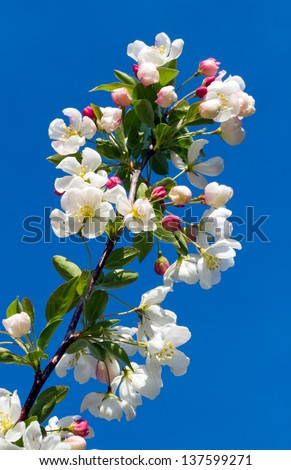 A colorful crab apple tree limb loaded with flower blossoms is backed by a deep blue spring sky. - stock photo