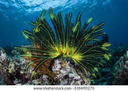 A colorful crinoid clings to a shallow reef in Indonesia. This part of the tropical Pacific harbors spectacular marine biodiversity and beautiful underwater scenery. - stock photo
