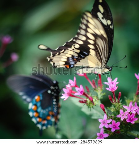 A colorful Giant Swallowtail Papilio Cresphontes butterfly. - stock photo