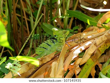 A colorful green and blue male Green or Plumed Basilisk, Basiliscus plumifrons, displaying his sail, crest and hood before running across the water - stock photo