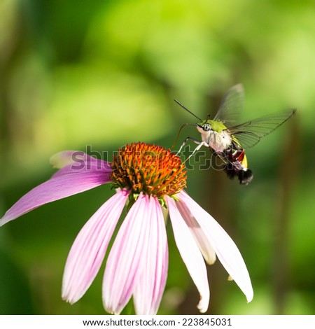 A colorful hawk moth on a flower - stock photo