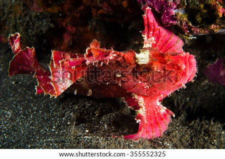 A colorful leaf scorpionfish lies on the black volcanic sand in the reef of Reunion Island in the Indian Ocean - stock photo
