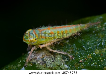 A colorful leafhopper nymph